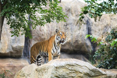 Tiger on rock Stock Photo