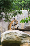 Tiger on rock Stock Photography