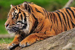 Tiger on a rock royalty free stock images