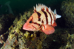Tiger Rock Fish 1 Royalty Free Stock Image
