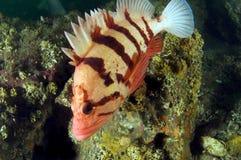 Tiger Rock Fish 2 Royalty Free Stock Photo