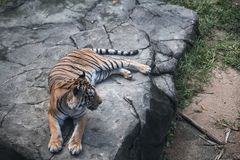 Tiger on the Rock royalty free stock photo