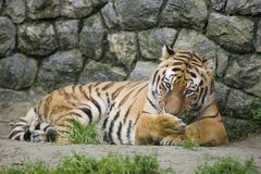 Tiger by rock wall Royalty Free Stock Photo