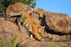 Tiger on the rocks. Shot of a young wild tiger moving on the rocks stock photos