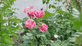 Tiger Rose-Blumenlachsweiß Lizenzfreies Stockbild