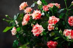 Tiger Roses, barrato Fiori su fondo scuro, carta per il giorno di biglietti di S. Valentino, spazio della copia immagini stock libere da diritti