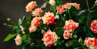 Tiger Roses, listrado Flores no fundo escuro, cartão para o dia de Valentim, espaço da cópia foto de stock