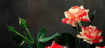 Tiger Roses, listrado Flores no fundo escuro, cartão para o dia de Valentim, espaço da cópia fotografia de stock royalty free