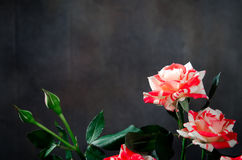 Tiger Roses, rayado Flores en el fondo oscuro, tarjeta para el día de tarjetas del día de San Valentín, espacio de la copia Fotos de archivo
