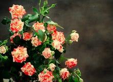 Tiger Roses, rayado Flores en el fondo oscuro, tarjeta para el día de tarjetas del día de San Valentín, espacio de la copia Imágenes de archivo libres de regalías