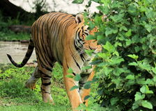 Royal Bengal Tiger in the woods hiding royalty free stock photos