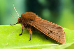 Tiger ruby moth close up Stock Photos