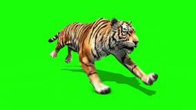 Tiger run animals loop close up green screen 3D Rendering Animation
