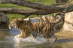 Tiger running. A tiger running in water Royalty Free Stock Images