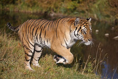 Tiger running Stock Images
