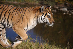 Tiger running Royalty Free Stock Image