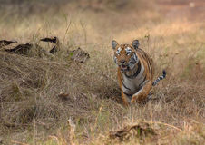 Tiger running Royalty Free Stock Photos