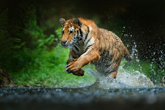 Tiger running in the water. Danger animal, tajga in Russia. Anim. Al in the forest stream. Grey Stone, river droplet. Tiger with splash river water. Action stock photography