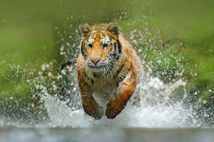 Tiger running in the water. Danger animal, tajga in Russia. Animal in the forest stream. Grey Stone, river droplet. Tiger with spl Royalty Free Stock Photos
