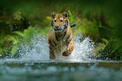 Tiger running in water. Danger animal, tajga in Russia. Animal in the forest stream. Grey Stone, river droplet. Tiger with splash Stock Photography