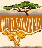 Tiger running in wild savanna Stock Images