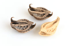 Tiger's Claw, Devil's Claw (Martynia annua L.), seeds. Royalty Free Stock Image