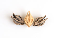 Tiger's Claw, Devil's Claw (Martynia annua L.), seeds. Stock Photography
