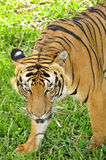 Tiger's eyes. Love the look of this tiger, it won't hesitate to attack if disturb royalty free stock photos