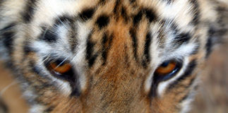 Tiger's Eyes. A close up of a tiger's eyes Stock Photos