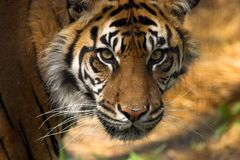 Free Tiger S Face Royalty Free Stock Photo - 1344875