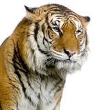 Tiger's face stock photo