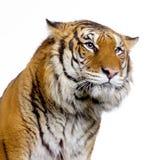 Tiger's face stock photos