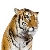 Tiger's face Stock Photography