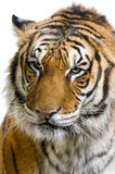 Tiger's face Royalty Free Stock Images
