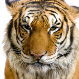 Tiger's face Royalty Free Stock Image