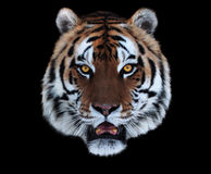 Tiger`s face with opened mouth isolated on black. The Tiger`s face with opened mouth isolated on black Royalty Free Stock Image