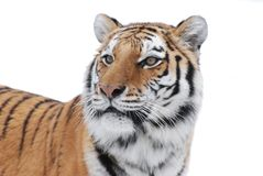Tiger's gaze. An adult female amur tiger gazes out over her domain Stock Photo