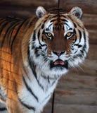 Tiger ` s Gesicht mit geöffnetem Mund stockbilder