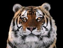 Tiger ` s Gesichtsabschluß oben lokalisiert an der schwarzen schauenden Kamera Lizenzfreie Stockfotos