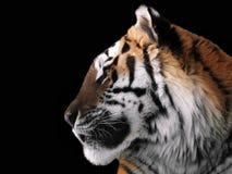 Tiger ` s Gesichtsabschluß oben lokalisiert am schwarzen Profil Stockfotos
