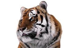 Tiger ` s Gesichtsabschluß oben lokalisiert am Weiß Stockfotografie