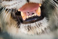 Tiger`s jaws in details - canines and tongue visible. Never approach in your live royalty free stock photo