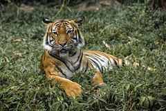 Tiger ` s Neugier Stockbild