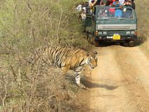 Tiger& x27; s nieba ranthambore zdjęcia royalty free