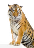 Tiger's posing Royalty Free Stock Photos