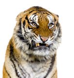 Tiger's Snarling royalty free stock images