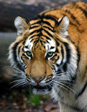 Tiger S Stare Royalty Free Stock Photo