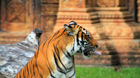 Tigers tongue Stock Images