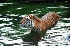 Tiger in the Safari Park Stock Photos