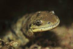 Tiger Salamander Stockfotos